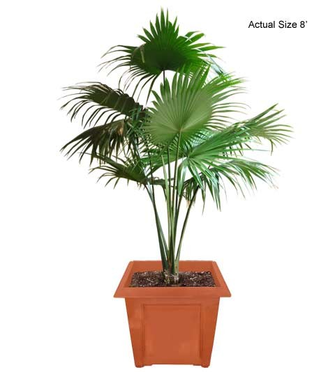 Medium Chinese Fan Palm Tree (Livistona chinensis) - Real Palm Trees