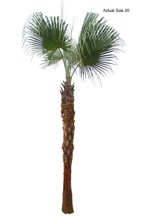 Large Chinese Fan Palm Tree
