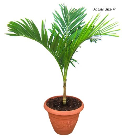 Small Christmas Palm Tree - Adonidia Merrillii
