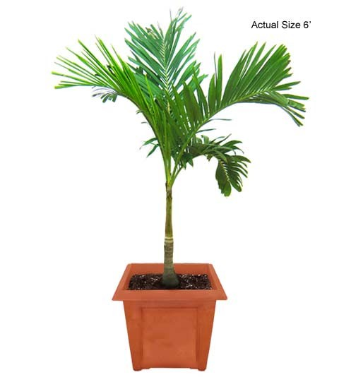 Medium Christmas Palm Tree - Adonidia merrillii