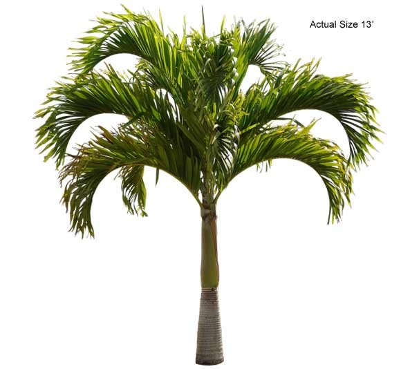 Large Christmas Palm Tree - Adonidia merrillii