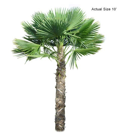 Large Cold Hardy Palm - Windmill Palm Tree