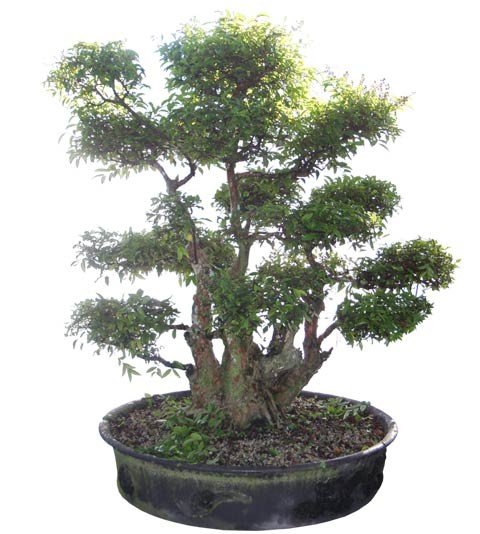 "Crape Myrtle Bonsai Tree 63"" Tall Large Specimen (Web)"
