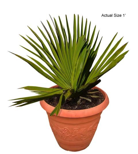 Small Cuban Petticoat Palm Tree - Copernicia macroglossa (Web)