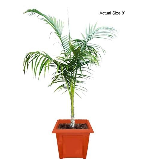 Cuban Royal Palm Tree Medium - Roystonea regia (Web)