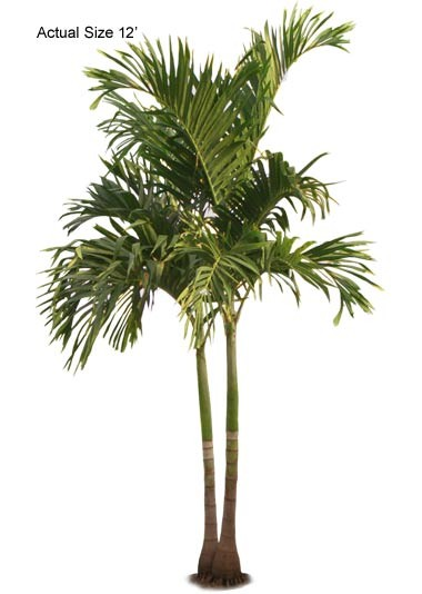 Double Stem Adonidia merrillii - Chrismtas Palm