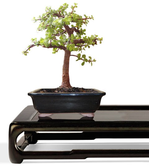Dwarf Jade Bonsai Tree - Small Bonsai Tree - Portulacaria afra (Web)