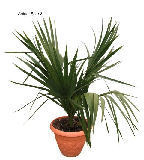 Small Dwarf Palmetto Palm Tree, Sabal minor