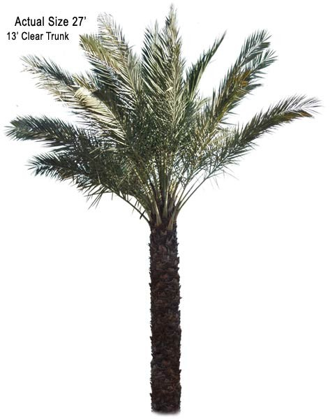 Date Palm Tree True Date Phoenix Dactylifera Edible Date Palm