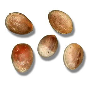 European Fan Palm Seeds