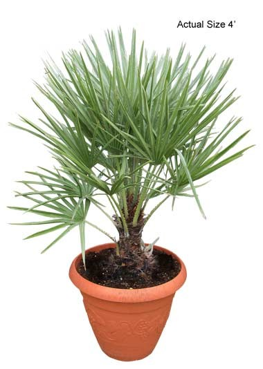 Small European Fan Palm Tree - Chamaerops humilis (Web)