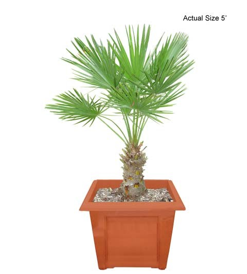 Medium European Fan Palm Tree - Chamaerops humilis