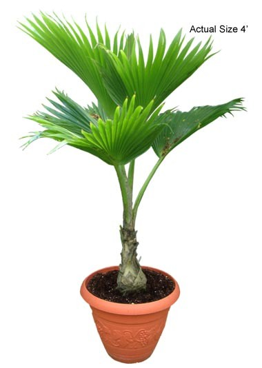 Small Fiji Fan Palm Tree - Pritchardia pacifica (Web)