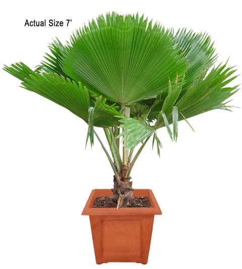 Medium Fiji Fan Palm Tree - Pritchardia pacifica (Web)