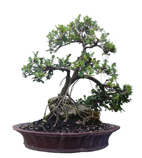 "Small Green Island Ficus Bonsai Tree 25"" Tall Root Over Rock (Web)"