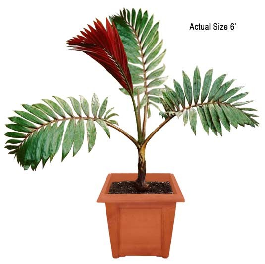 Medium Flame Thrower Palm Tree - Chambeyronia macrocarpa (Web)