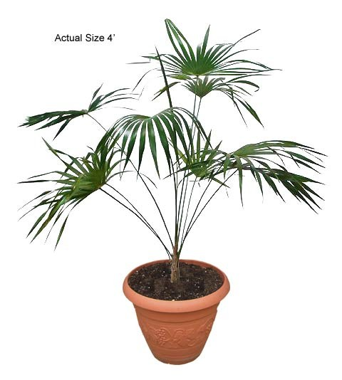 Florida Silver Palm Tree: Small Coccothrinax argentata (Web)