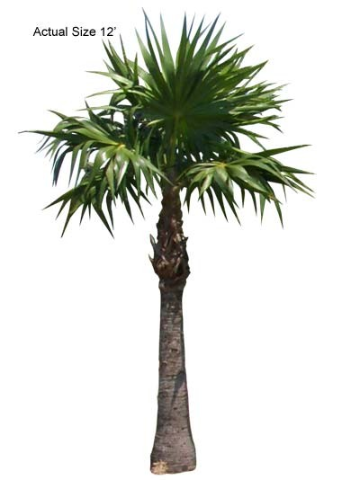 Large Florida Thatch Palm Tree