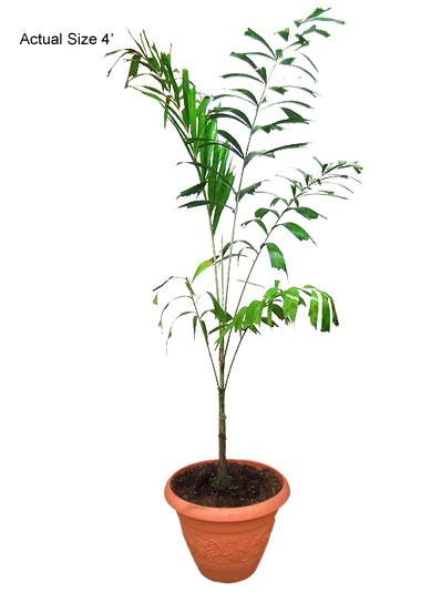 Small Foxtail Palm Tree - 4FT Wodyetia bifurcata (Web)