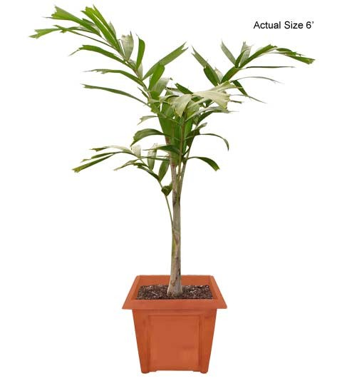 Medium Foxtail Palm Tree - Wodyetia bifurcate (Web)