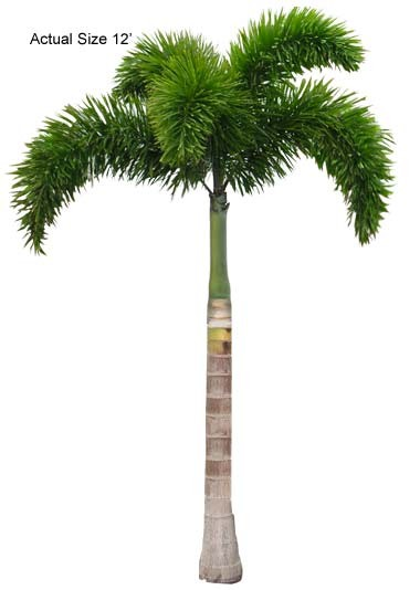 Large Foxtail Palm Tree - Wodyetia bifurcata