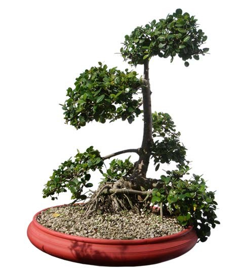 "Green Island Ficus Bonsai Tree 32"" Tall Root Over Rock (Web)"
