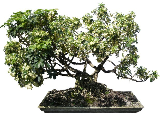 "Hawaiian Umbrella Bonsai Tree 35"" Tall 15 yrs Old (Web)"