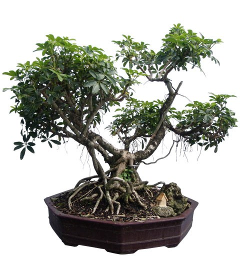 "Hawaiian Umbrella Bonsai Tree 26"" Tall: Small Bonsai (Web)"