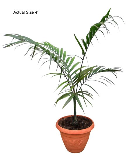 Small Princess Palm Tree - Dictyosperma album (Web) (Hurricane Palm)