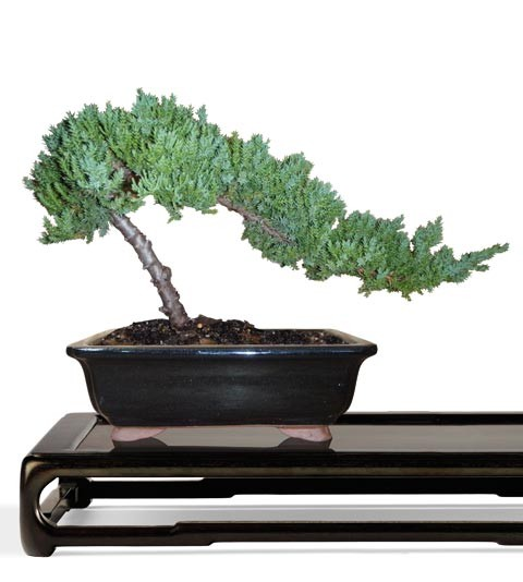 Juniper Bonsai Tree - Small Bonsai Tree - Juniperus procumbens (Web)