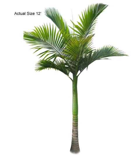 King Palm Tree, Archontophoenix alexandrae, Large