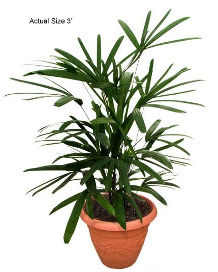 Small Lady Palm Tree - Rhapis excelsa (Web)