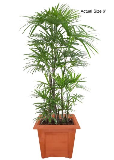 Medium Lady Palm Tree - Rhapis excelsa Web