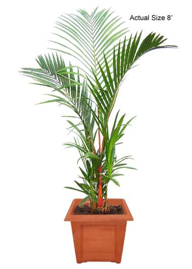 Medium Lipstick Palm Tree - Cyrtostachys renda (Web)