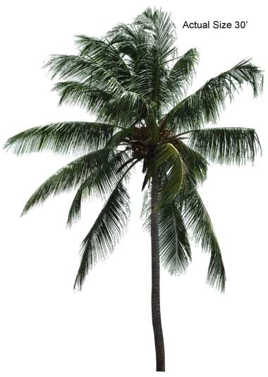 coconut palm tree The coconut palm tree grows in hot areas it likes frost free areas, and grows in africa, asia, latin america, and the pacific region.