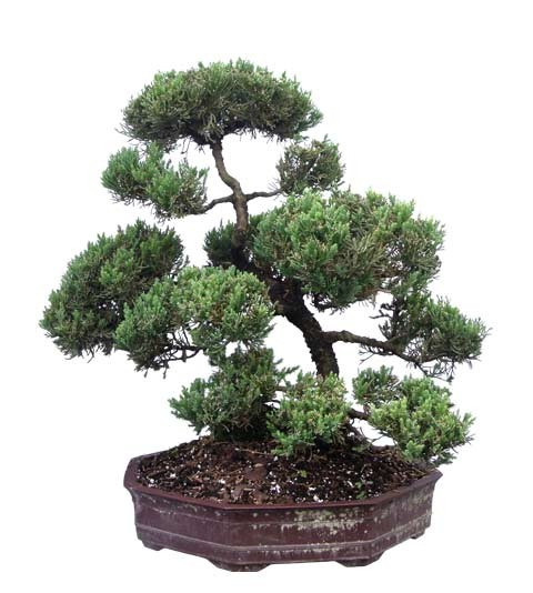 "Juniper Bonsai Tree - Unique Bonsai Tree 23"" Tall: Medium (Web)"