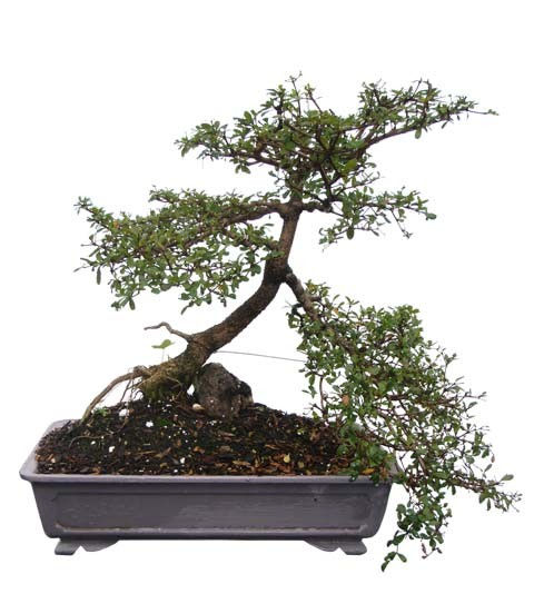 "Black Olive Bonsai Bonsai Tree - Unique Bonsai Tree 18"" Tall: Medium (Web)"