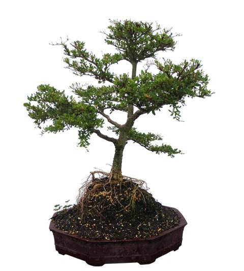 "Black Olive Bonsai Bonsai Tree - Unique Bonsai Tree 23"" Tall: Medium 8 Years Old (Thumb)"