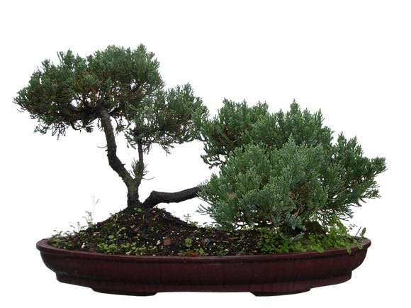 "Juniper Bonsai Tree - Unique Bonsai Tree 18"" Tall: Medium (Web)"