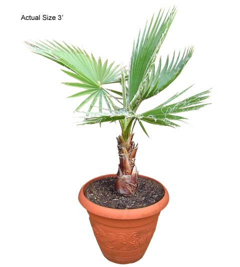Small Mexican Fan Palm Tree - Washingtonia robusta Web