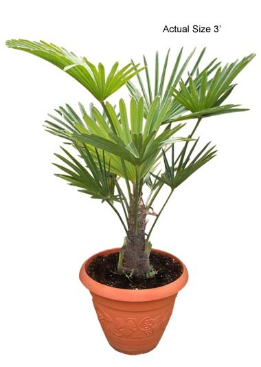 Small Miniature Chusan Palm Tree (Trachycarpus wagnerianus)