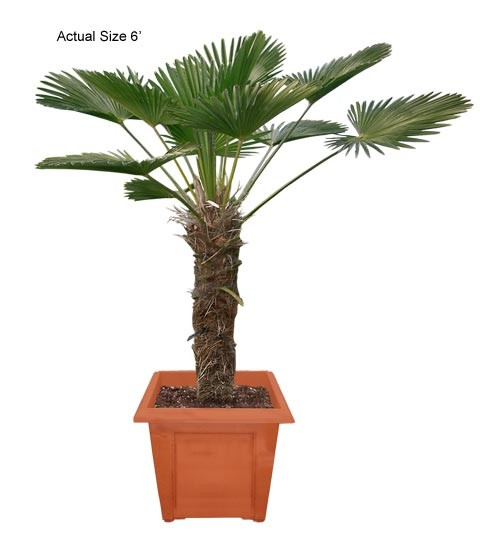 Medium Miniature Chusan Palm Tree