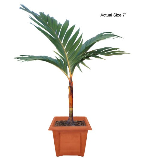 Medium Orange Crownshaft Palm Tree - Areca vestiaria Web