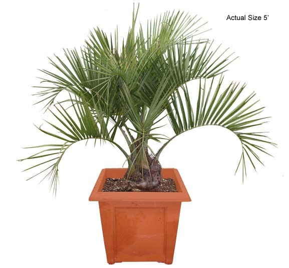 Medium Pindo Palm Tree - Butia capitata
