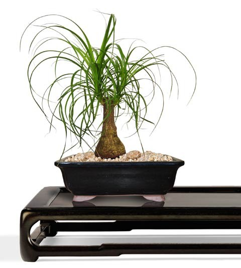 Ponytail Bonsai Tree - Small Bonsai Tree - Beaucarnea recurvata - Nolina recurvata (Web)