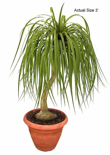 Small Ponytail Palm Tree - Beaucarnea recurvata Web