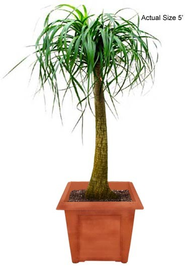 Medium Ponytail Palm Tree - Beaucarnea recurvata