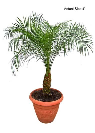 Small Pygmy Date Palm Tree - Phoenix roebelenii Web