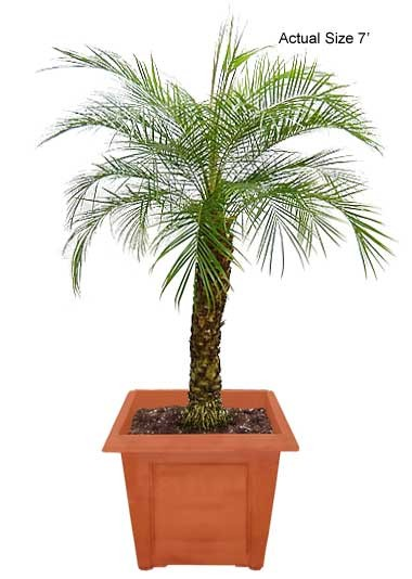 Medium Pygmy Date Palm Tree - Phoenix roebelenii (Web)