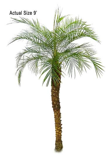 Large Pygmy Date Palm Tree
